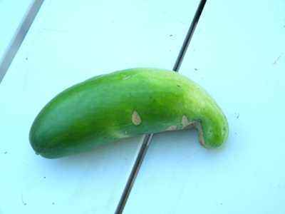 Why cucumbers have an irregular shape