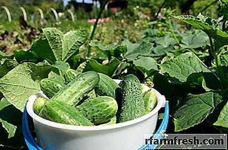 Why do I need to feed cucumbers with iodine?