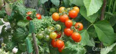 Why do not bloom tomatoes in the greenhouse