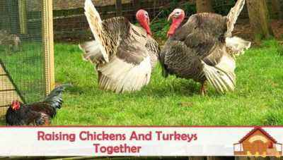 Why do you need a rooster for turkeys and how to make it