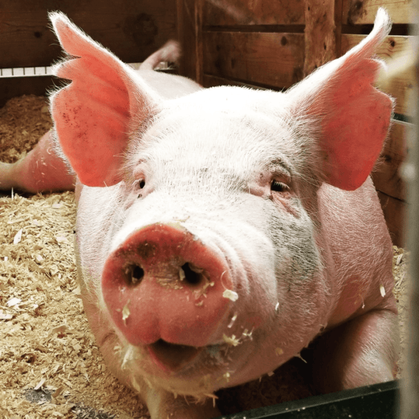 Why do you need vitamin and mineral supplements for pigs?