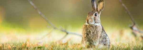 Why dream of hares and rabbits