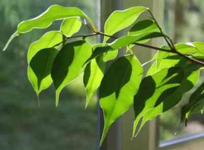 Why ficus Benjamin dumps leaves