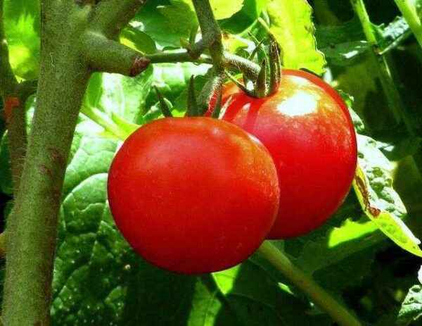 Why there is no ovary in tomatoes