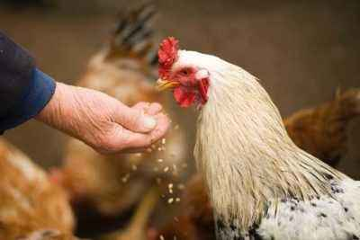 Why vitamins for chickens are so necessary