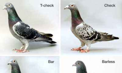 Wild and domestic pigeons