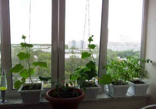 Winter cultivation of cucumbers on the windowsill