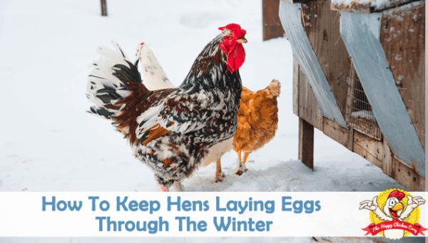 Winter laying hens