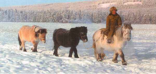Yakut breed of horses