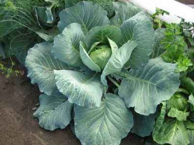 Yeast-based fertilizers for feeding cabbage