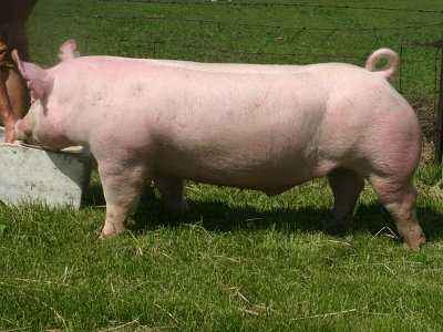 Yorkshire pig breed characterization