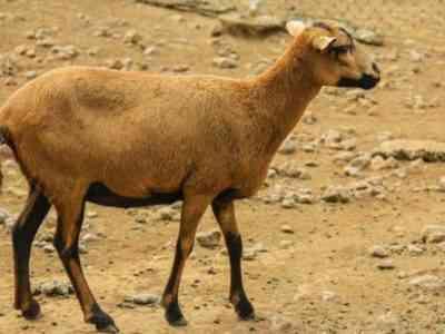 Барбадосская чернобрюхая овца