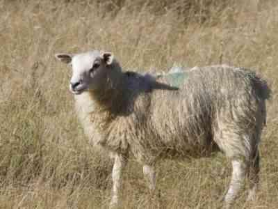 Бурятская овца