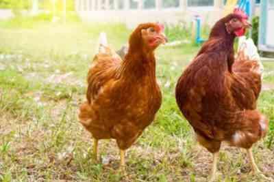 Петух и курица породы Нью-гемпшир