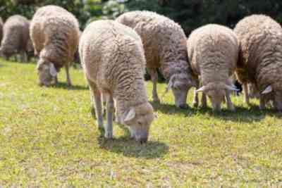 North Caucasian meat and wool breed of sheep