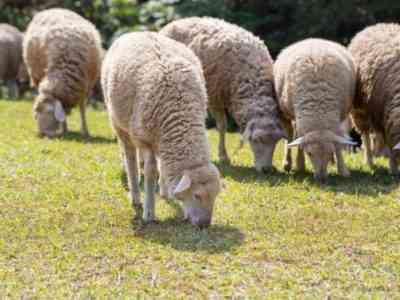 Северокавказская овца