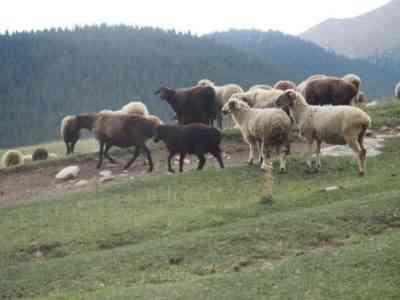Тянь-шаньская разновидность овец