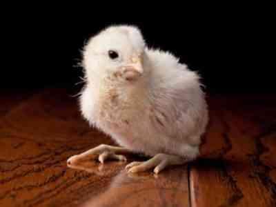 Курицы породы Амераукана имеют высокий темп роста и просты в уходе