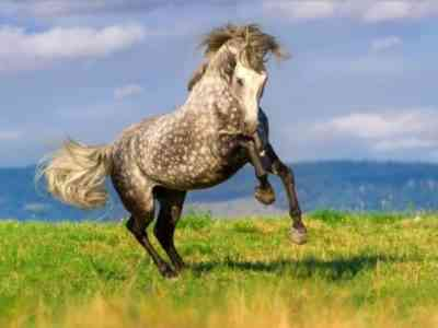 Andalusian horses are good riding horses