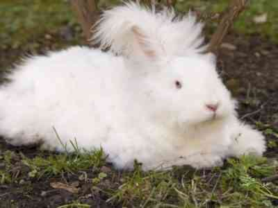 Ангорский пушистый кролик