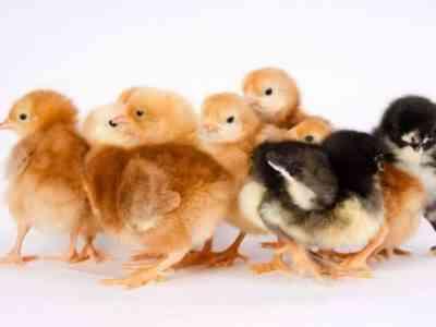 Умелые птичники разводят потомство