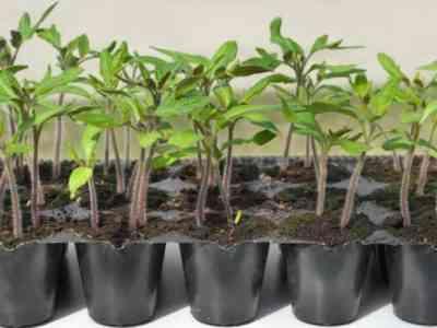 С первых дней необходимо хорошо ухаживать за растениями