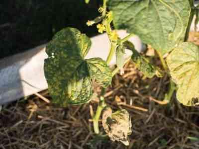 Заболевание способно уничтожить весь урожай