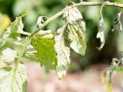 Борьба с бурой пятнистостью томатов