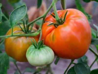 Описание томатов сорта Бычий Лоб
