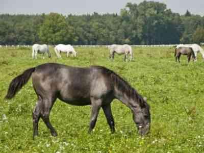 Black color of a roan horse