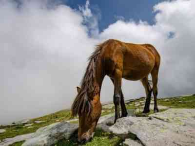Roan red horse