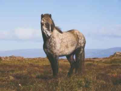 Savras roan horse
