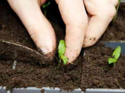 Корневая система всходов нуждается в удобрении