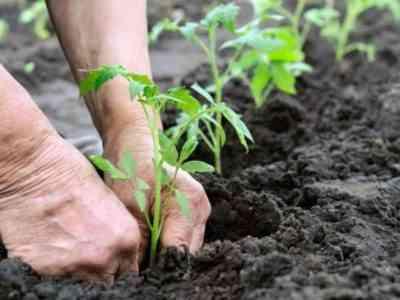 Через месяц рассаду можно высаживать в теплицу