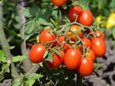 Характеристика томатов Черри Ира f1