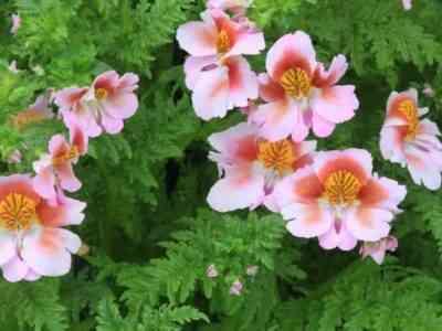 Схизантус подходит для выращивания в саду и дома
