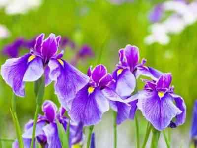 Ирисы похожи на орхидею, только сильно закручены и с бахромой на краях