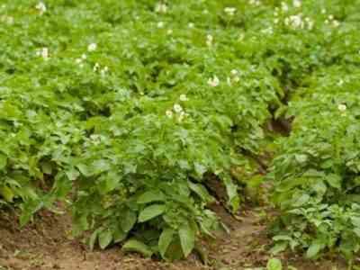 Растения нужно регулярно рыхлить