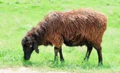 Edilbaevskaya breed of sheep