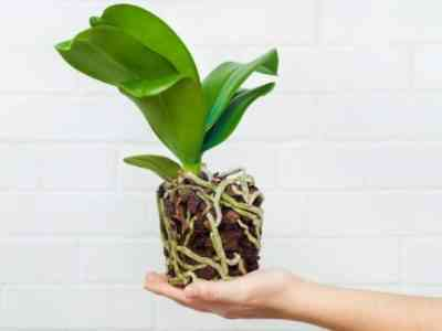 An orchid transplant is only necessary in special cases.