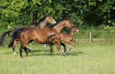 The horses of the Holstein breed are energetic and obedient