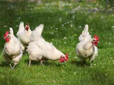 Курица породы Хайсекс