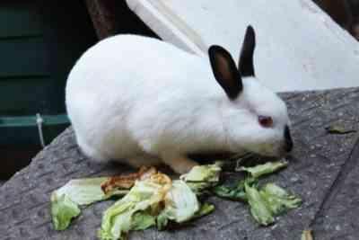 Hiplus rabbit care