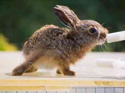 Vaccination for rabbits