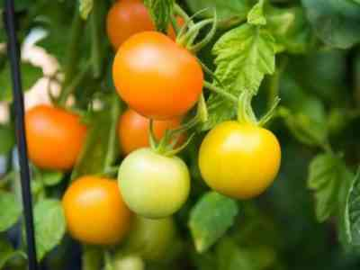 Способы ускорения созревания помидор в теплице