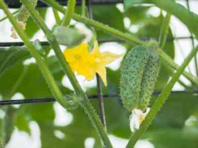 Не все сорта пригодны для выращивания зимой