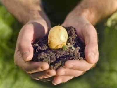 Хорошая картошка в удобренной земле