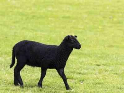 Карачаевская порода овец
