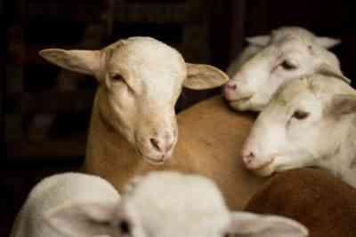 Catadine Sheep Breed