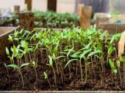 При выращивании рассады чётко придерживайтесь правил